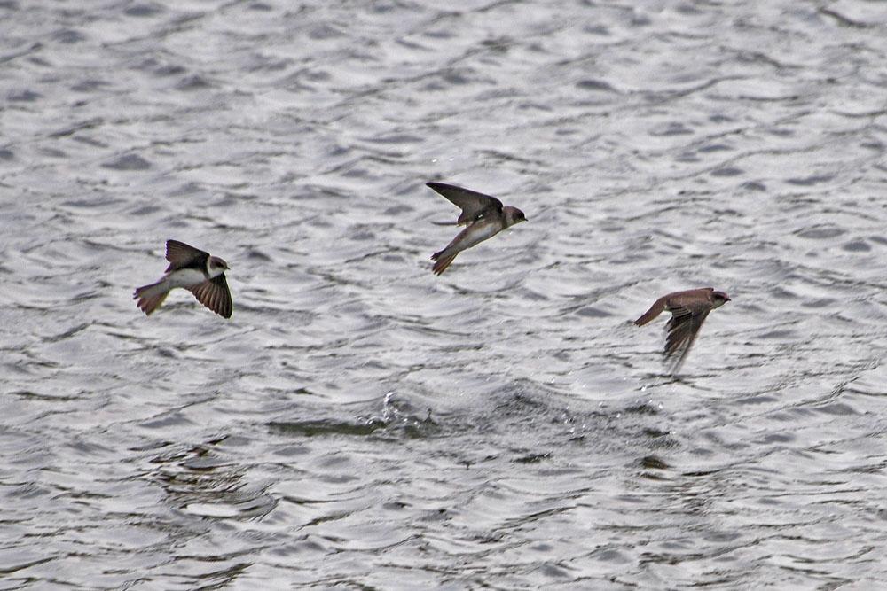 ...hier ist für jeden etwas leckeres dabei, der eine holt es sich zu Fuß der andere aus der Luft wie diese Uferschwalben... am 08.05.2013 Foto: Marvin Lebeus