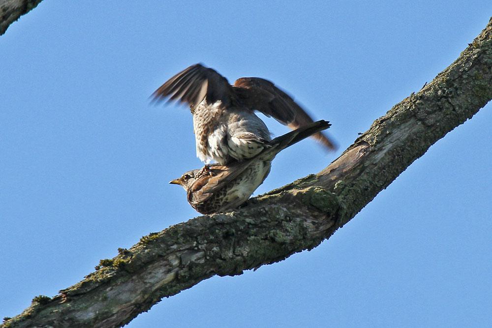 Paarungszeit bei den Wacholderdrosseln auf dem abgestorbenen Baum an der Alten Eiche....am 30.05.13 Foto: Gregor Zosel