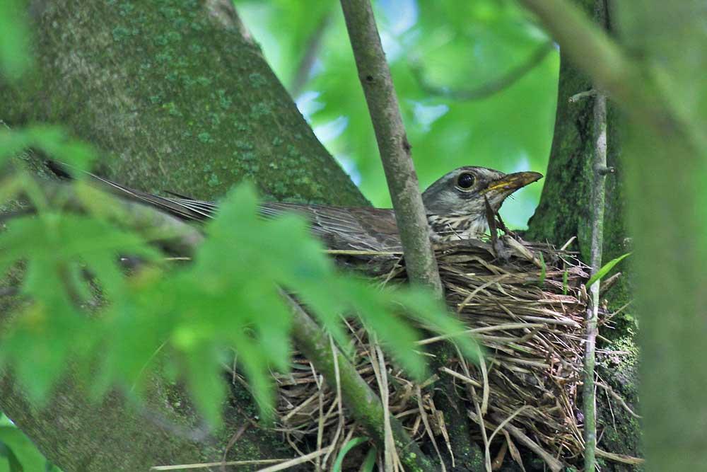 Bei einem anderen Paar wird ist das Nest schon fast fertig gebaut. Immer wieder setzen sich die Drosseln ins Nest, um die Nistmulde zu formen.....am 30.05.13 Foto: Gregor Zosel