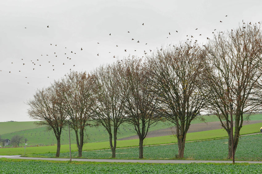 Nach kurzem sammeln in den Baumkronen, ein kleiner Ausschnitt aus dem hiesigen Schwarm Wacholderdrosseln bei Priorsheide am 25.11.2013 Foto: Marvin Lebeus