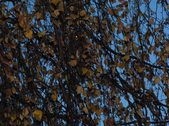 Waldohreule in einem Garten in Kamen-Herren, 20.11.2012 Foto: Heidi und Ralph Breidenstein