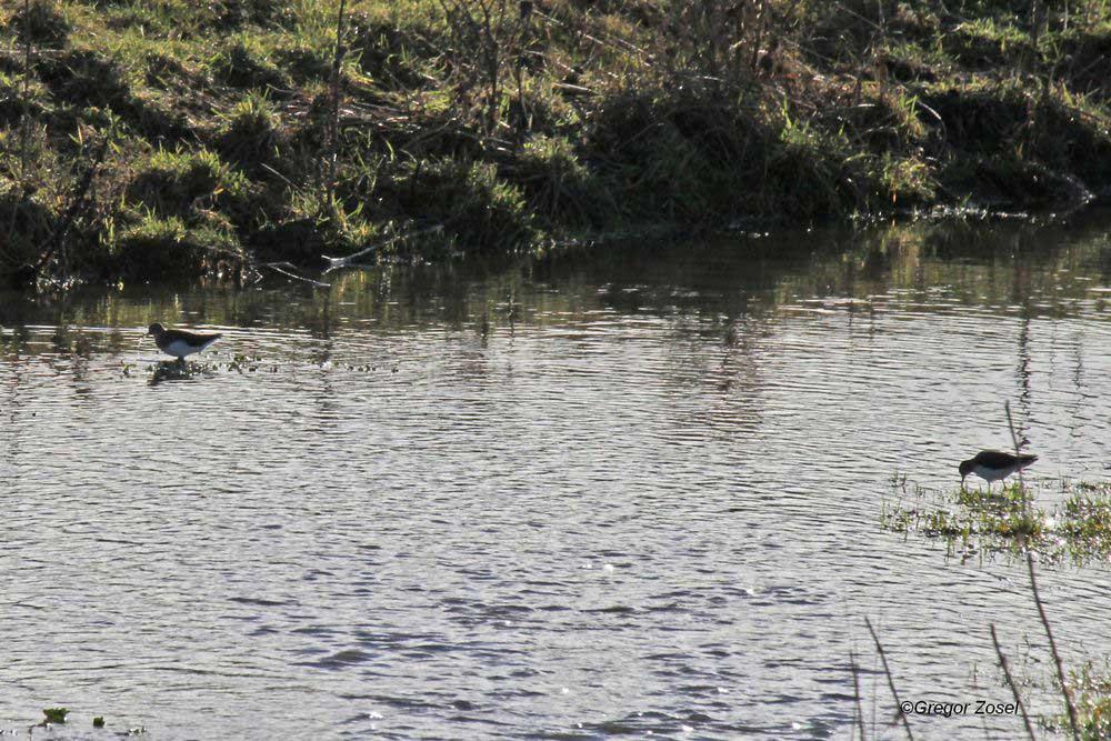 Zwei Waldwasserläufer in den Flussrinnen auf der Vernässungsfläche.....am 31.12.13 Foto: Gregor Zosel