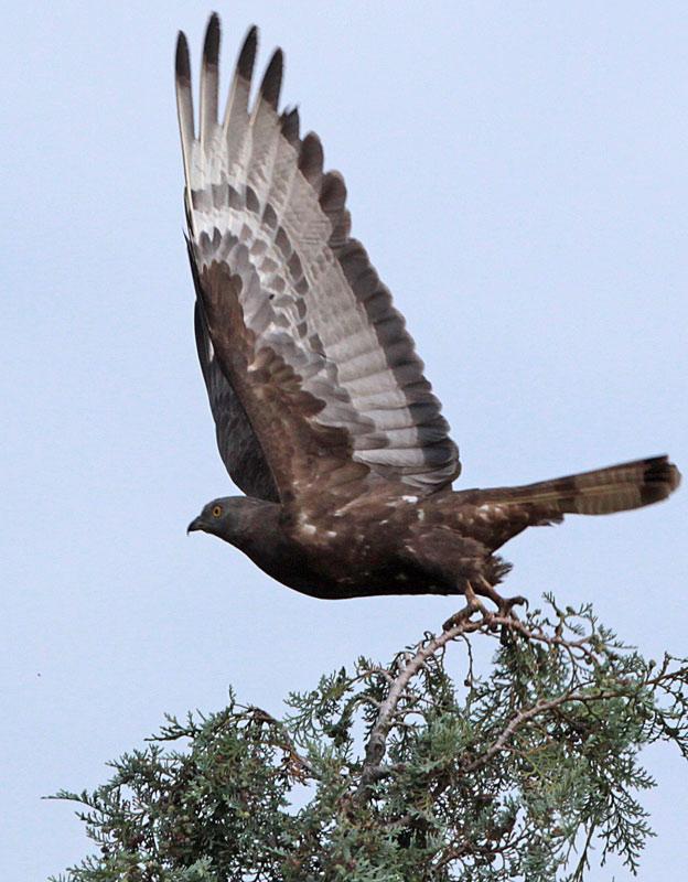 Mit großer Gewissheit derselbe Vogel ~ 1 km vom heutigen Beobachtungsort entfernt am 14.08.2012 aufgenommen, Foto: Bernhard Glüer