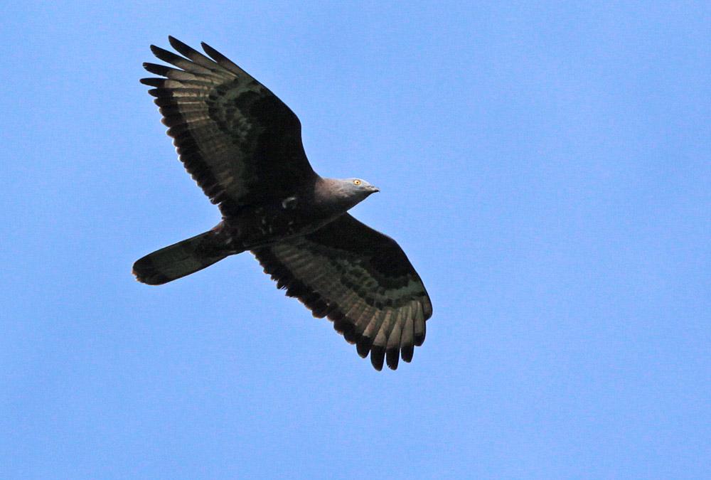 ...vor allem aber kennzeichnet die extrem dunkle Färbung diesen Vogel als das Männchen, das schon seit Jahren immer in dasselbe Revier zurückkehrt, 28.05.2013 Foto: Bernhard Glüer