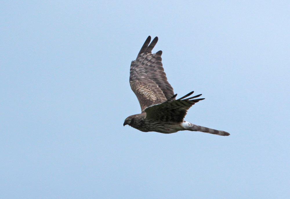 Der deutlich erkennbar prall gefüllte Kropf des fliegenden Weibchens weist das Männchen als tauglichen `Ernährer´ aus, 24.05.2013 Foto: Bernhard Glüer