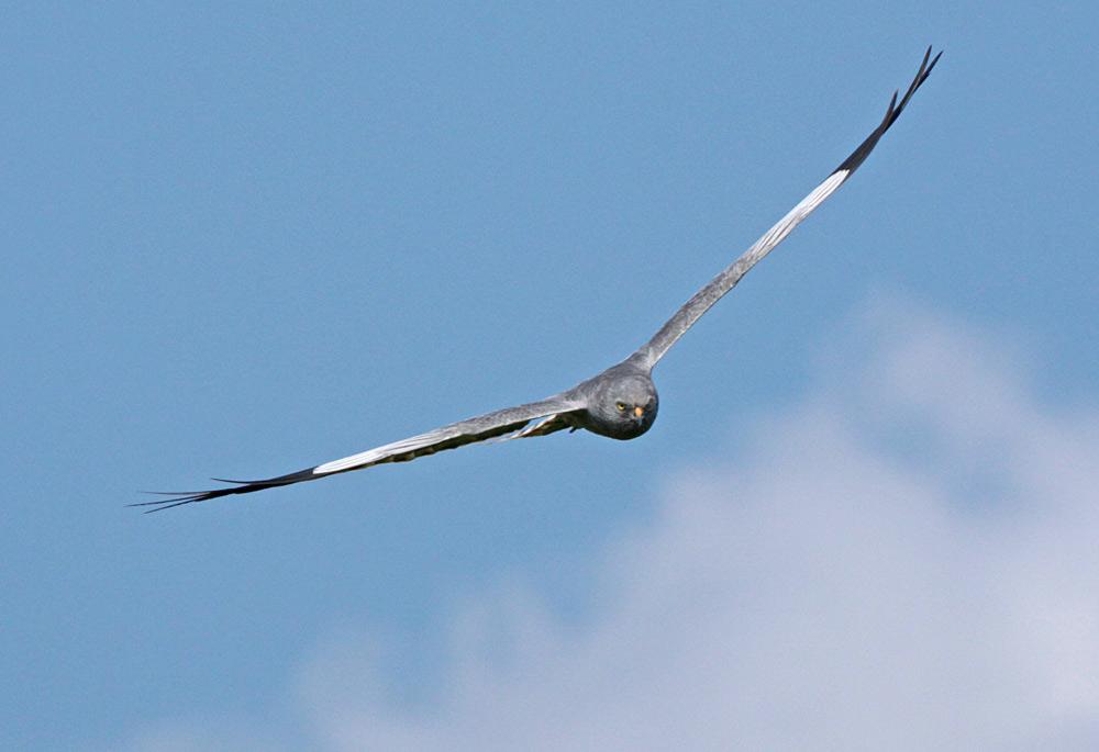 Das stolze Männchen fliegt  `Patroullie´ 25.05.2013 Foto: Bernhard Glüer