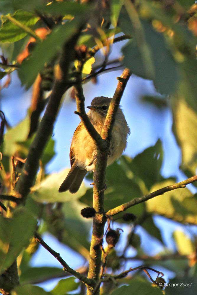 In Büschen und Bäumen turnen viele Kleinvögel herum, hier ein Zilpzalp...am 29.09.13 Foto: Gregor Zosel
