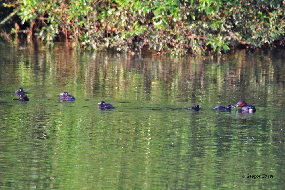 Zwergtaucher mit 6 Jungvögel auf der Ruhr nahe der Rammbachmündung...am 27.07.13 Foto: Gregor Zosel