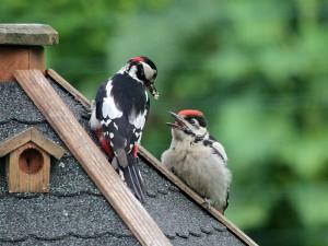 Noch mit Altvogel am 16.06.2014 Foto: E.Spillman-Preuß