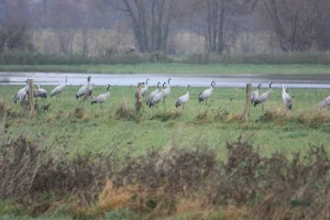 Kraniche in den Hemmerder Wiesen am 28.11.14   Foto: Hartmut Peitsch