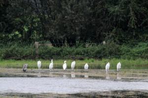 7 von 8 Silberreihern in den Hemmerder Wiesen am 26.09.2014 Foto: E.Spillman-Preuß