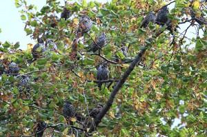 Stare versammelten sich in den umliegenden Bäumen am 09.09.2014. Foto: E.Spillman-Preuß