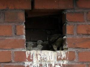 Turmfalkennachwuchs in Unna-Massen am 19.06.2014 Foto: E.Spillman-Preuß