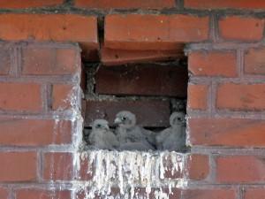 3 junge Turmfalken am 26.06.2014 Foto: E.spillman-Preuß