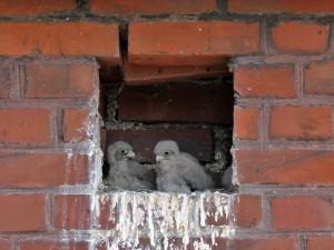 Junge Turmfalken am 26.06.2014 Foto: E.Spillman-Preuß