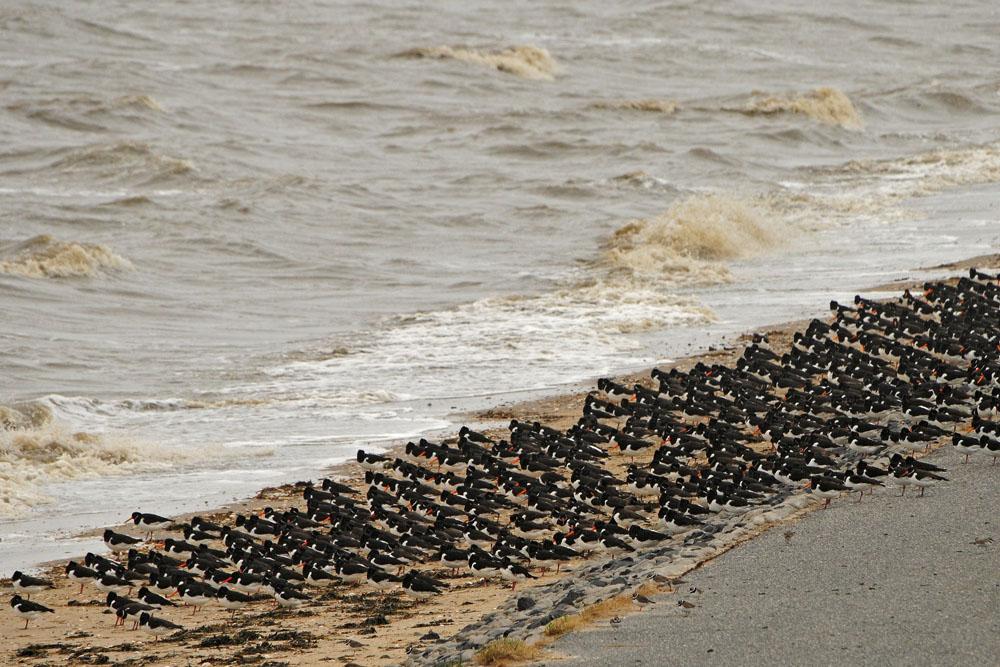 -An der Nordseeküste- Austernfischer und Sandregenpfeifer stehen Spalier am 16.03.2014 Foto: Marvin Lebeus