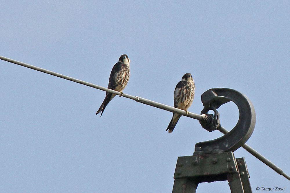 Mindestens 2 junge Baumfalken halten auf der Kiebitzwiese noch die Stellung.....am 31.08.14 Foto: Gregor Zosel