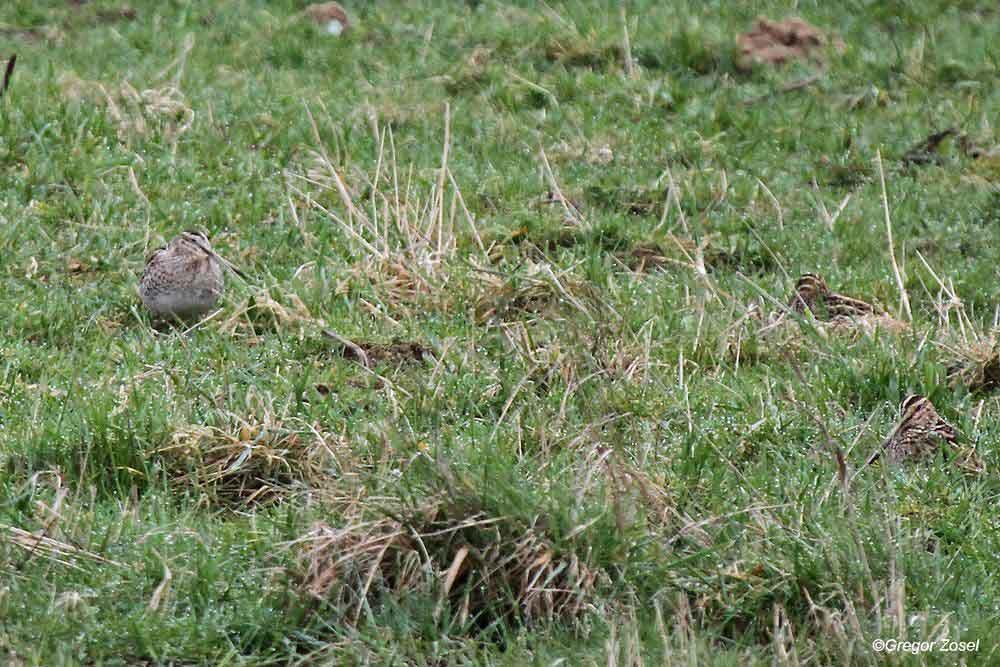 Im Gras gut versteckt: 3 Bekassinen auf der Kiebitzwiese...am 22.03.14 Foto: Gregor Zosel