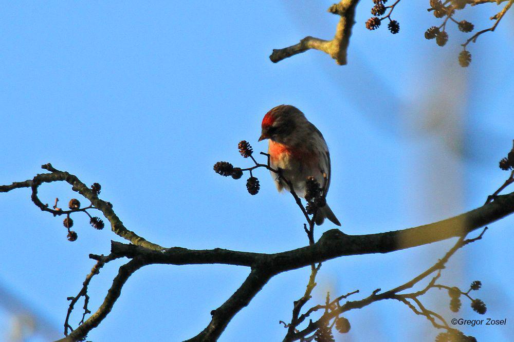 .....leuchtend rot die Gefiederanteile......am 23.02.14 Foto: Gregor Zosel