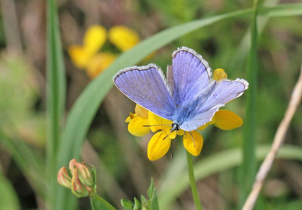 Schmetterlinge im NSG Hemmerder Wiesen - hier ein männlicher Hauhechelbläuling, 22.07.2014 Foto: Bernhard Glüer