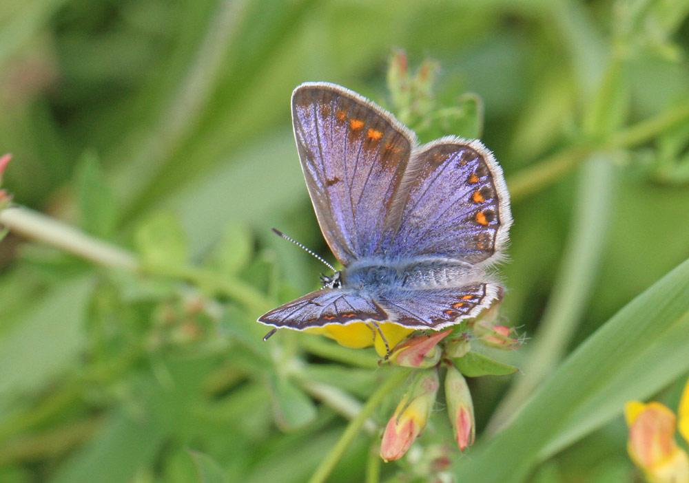 Schmetterlinge im NSG Hemmerder Wiesen - hier ein weiblicher Hauhechelbläuling, 22.07.2014 Foto: Bernhard Glüer