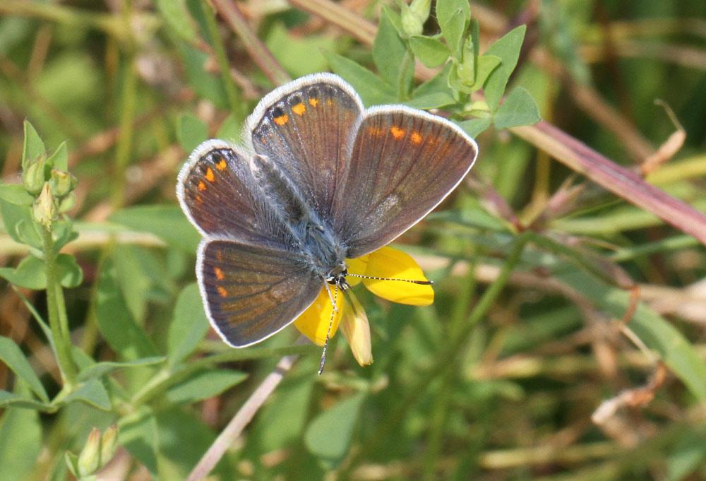 Schmetterlinge im NSG Hemmerder Wiesen - hier ein weiblicher Hauhechelbläuling (dunkle Morphe), 22.07.2014 Foto: Bernhard Glüer