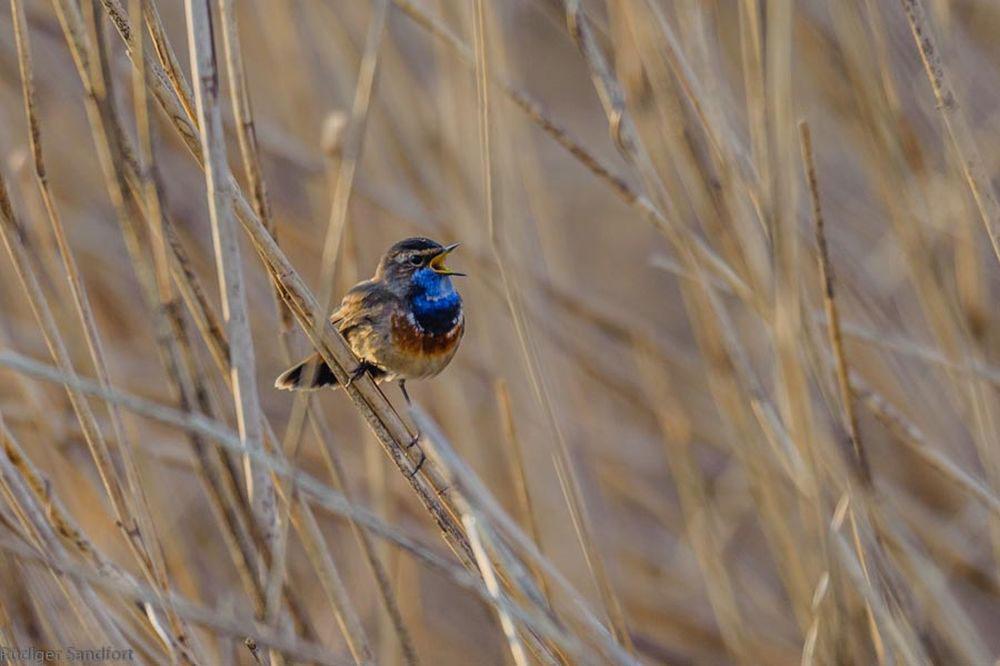 Blaukehlchen im Schilfdschungel...am 28.03.14 Foto: Rüdiger Sandfort