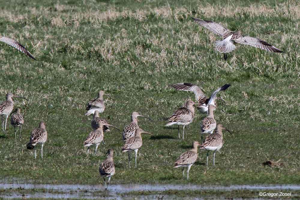 Während bei uns die ersten Brachvögel in ihre Brutgebiete eintreffen, findet man an der Nordseeküste noch Ansammlungen von über Hundert Vögel....am 27.03.14 Foto: Gregor Zosel