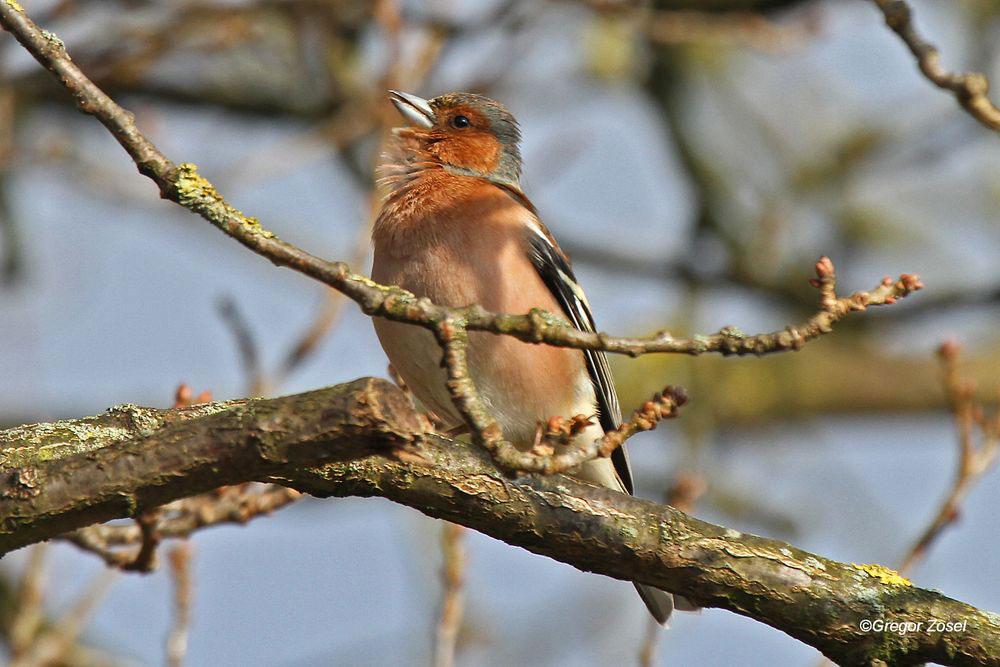 Überall war heute der Gesang des Buchfinks zu hören...am 02.03.14 Foto: Gregor Zosel