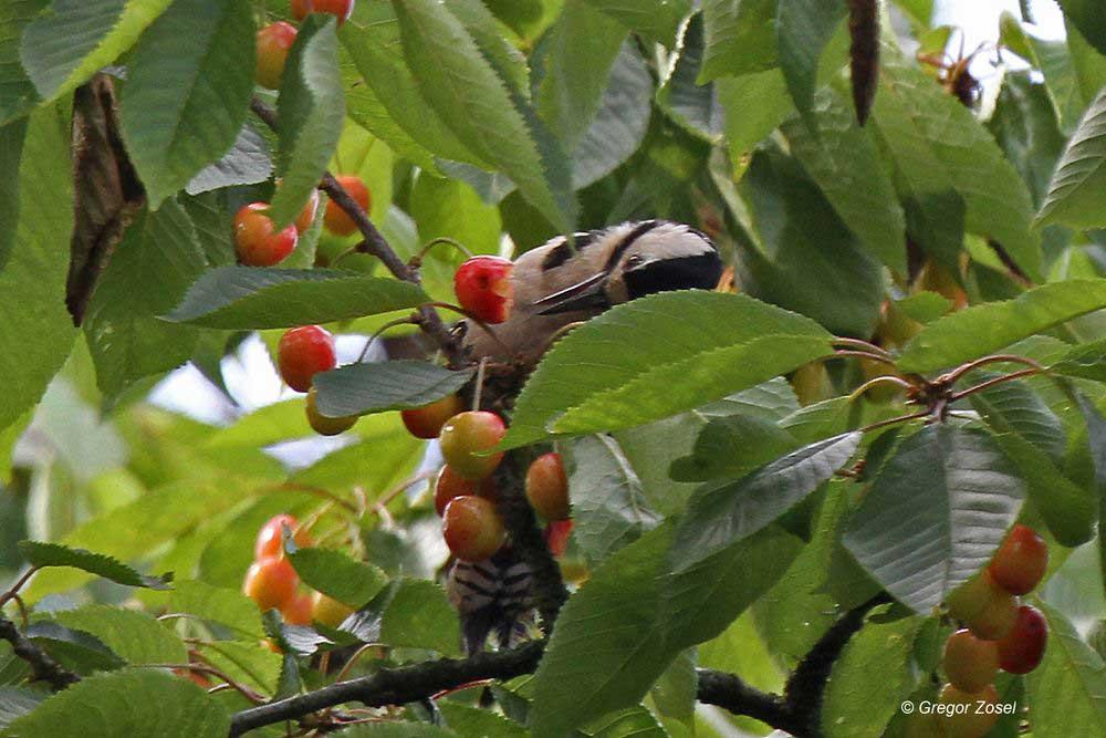 Auch die Buntspechte naschen von den süßen Früchten....am 12.06.14 Foto: Gregor Zosel