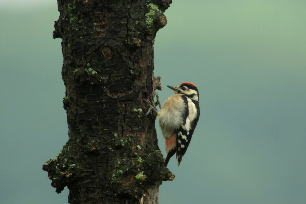 Buntspecht-Jungvogel, auf Futter wartend, Kamen-Methler am 28.05.2014 Foto: Karl-Heinz Kühnapfel