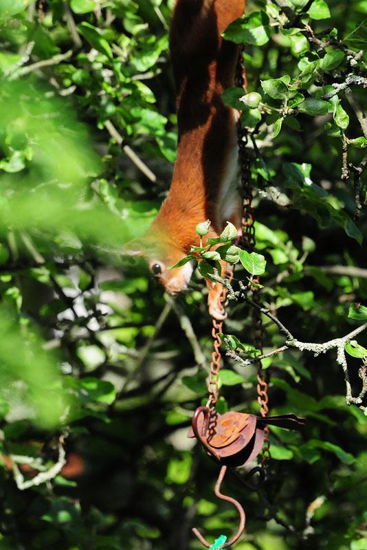 Raffiniertes Eichhörnchen - es versucht vom Zweig aus die Kette hoch zu ziehen um an den großen Knödel zu kommen, scheitert aber auf halber Strecke am 09.06.2014 Foto: Marvin Lebeus