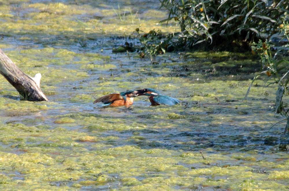 Auch nicht im Wasser! Kiebitzwiese am 17.09.2014 Foto: Günter Reinartz