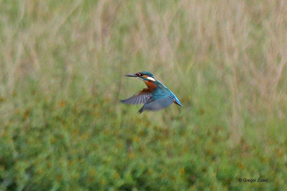 Wie ein Kolibri flattert der Eisvogel über der Wasserfläche auf der Suche nach einem Fisch.....am 13.09.14 Foto: Gregor Zosel