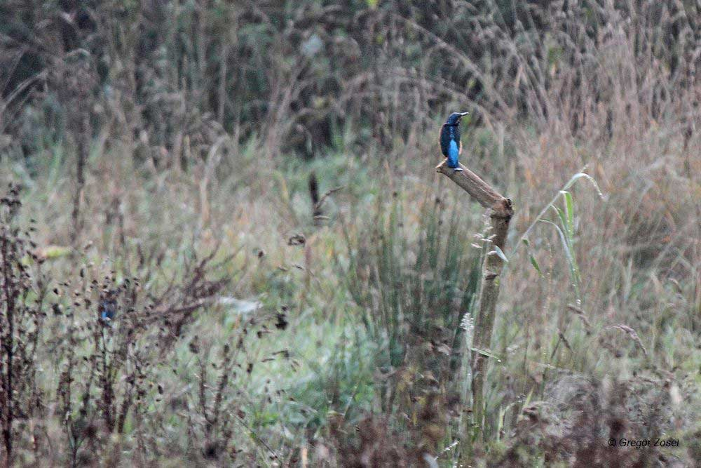 Der neue Ansitz am Tümpel nahe des Flößergrabens ist nun auch von den Eisvögel entdeckt worden. Links im Hintergrund ein weiterer Eisvogel versteckt in den Hochstauden .....am 23.09.14 Foto: Gregor Zosel