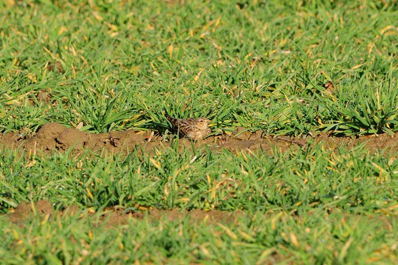 Anstatt wegzufliegen verlässt sich diese Feldlerche auf ihre Tarnung am 23.02.2014 Foto: Marvin Lebeus