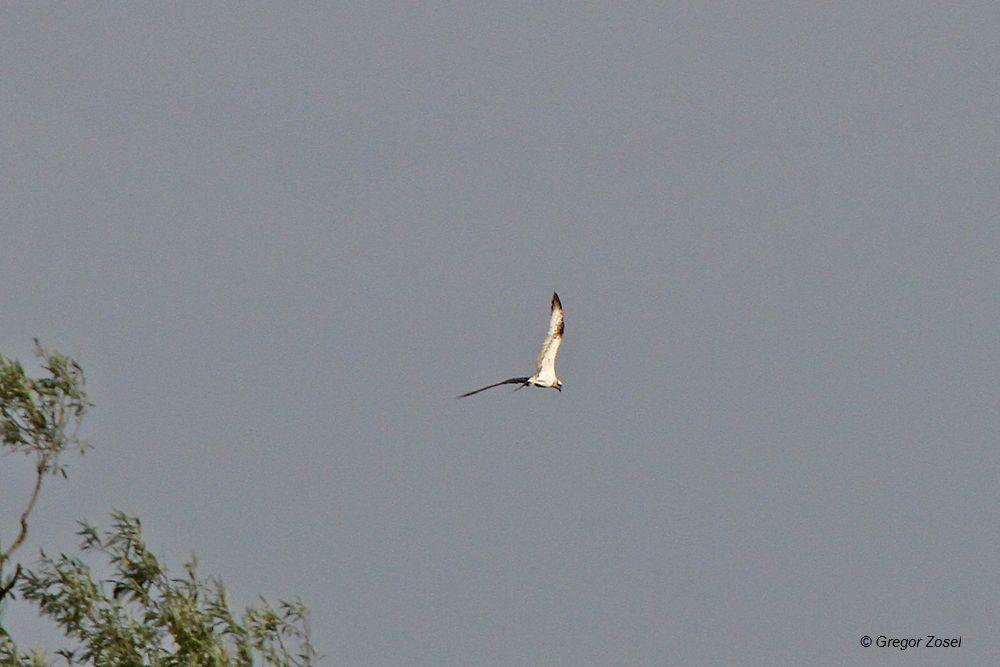 Fischadler jagt über dem Mendener Ententeich und der Ruhr in der Sperrzone.....am 01.09.14 Foto: Gregor Zosel