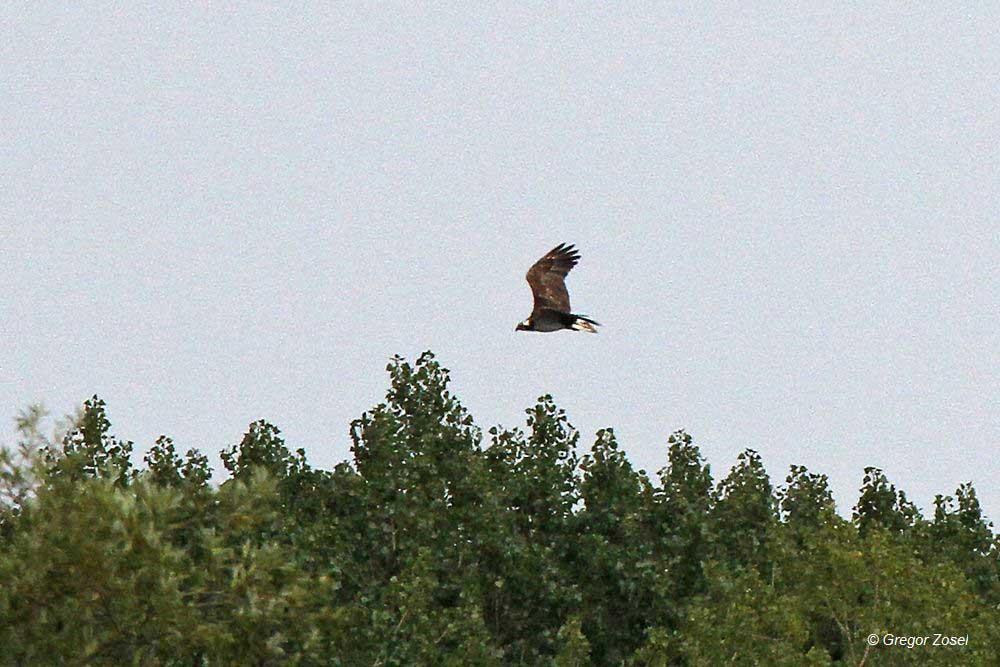 Fischadler im Tiefflug über dem Auwald.....am 01.09.14 Foto: Gregor Zosel