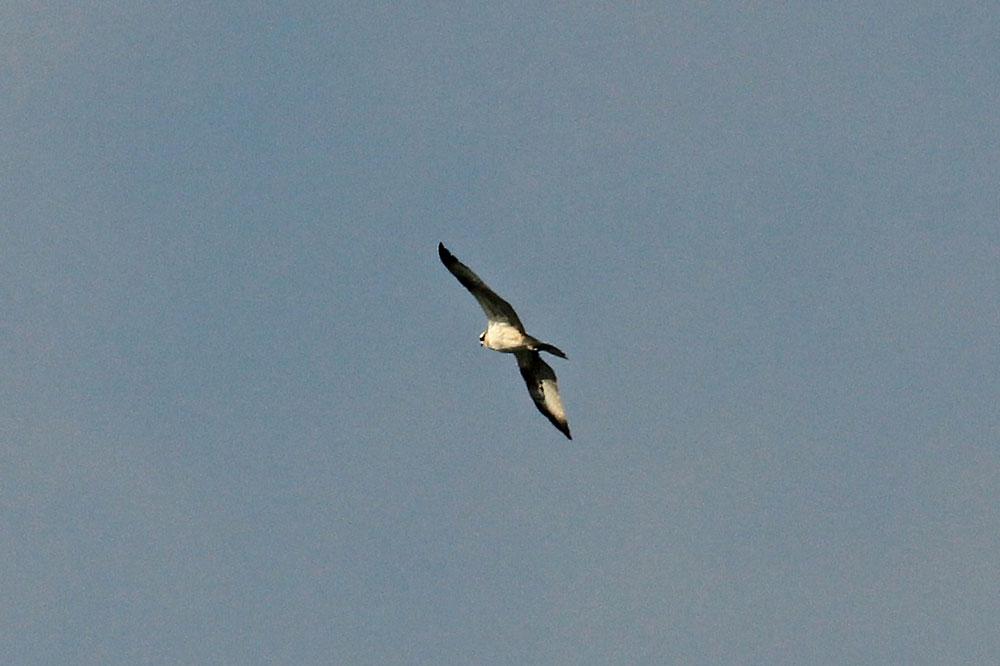 Fischadler nahe des Aussichtshügel der Kiebitzwiese.....am 03.09.14 Foto: Marlena Szulczewski