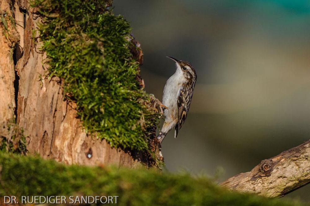 Seltener aber regelmäßiger Gast: der Gartenbaumläufer.....am 03.02.14 Foto: Rüdiger Sandfort