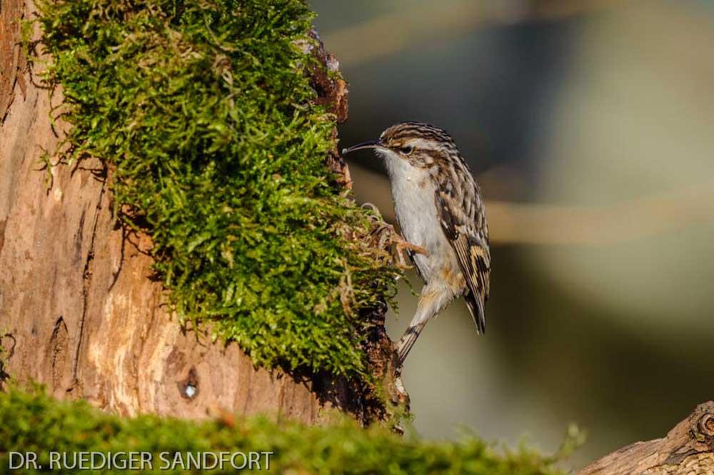 Im Moos und im morschen Holzstämmen findet der Gartenbaumläufer das ein oder andere Insekt...am 03.02.14 Foto: Rüdiger Sandfort