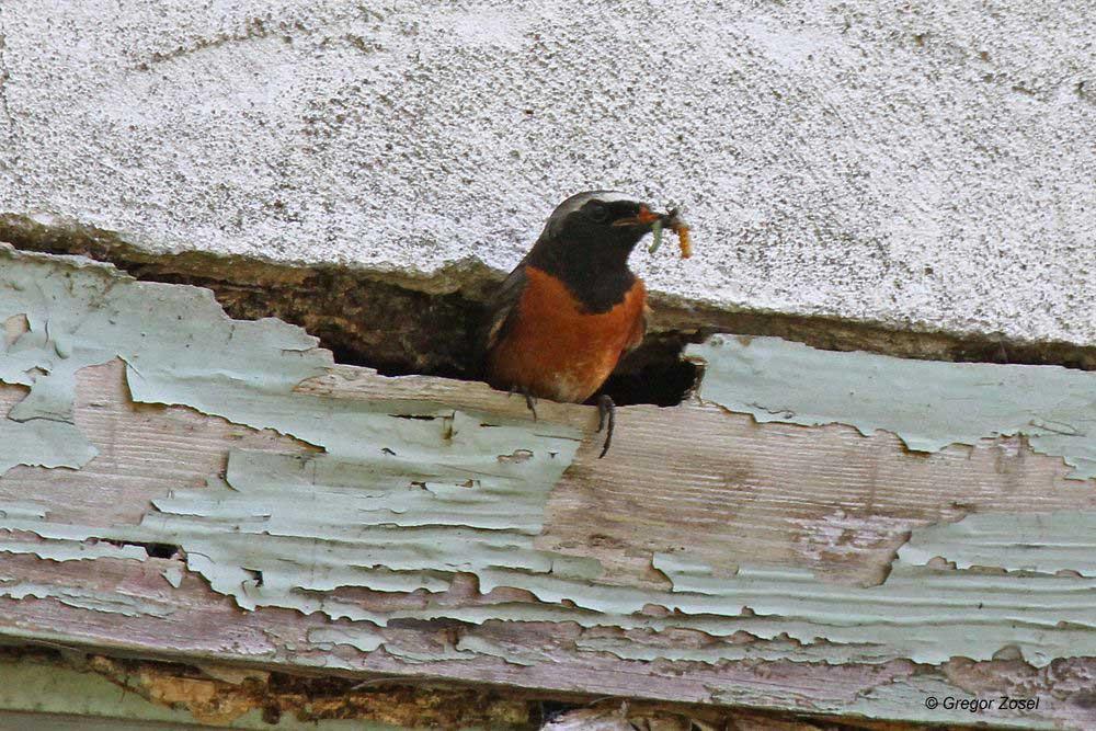 Zuerst noch einmal schauen, ob die Luft auch rein ist, bevor die Raupen an die Jungen verfüttert werden....am 12.06.14 Foto: Gregor Zosel