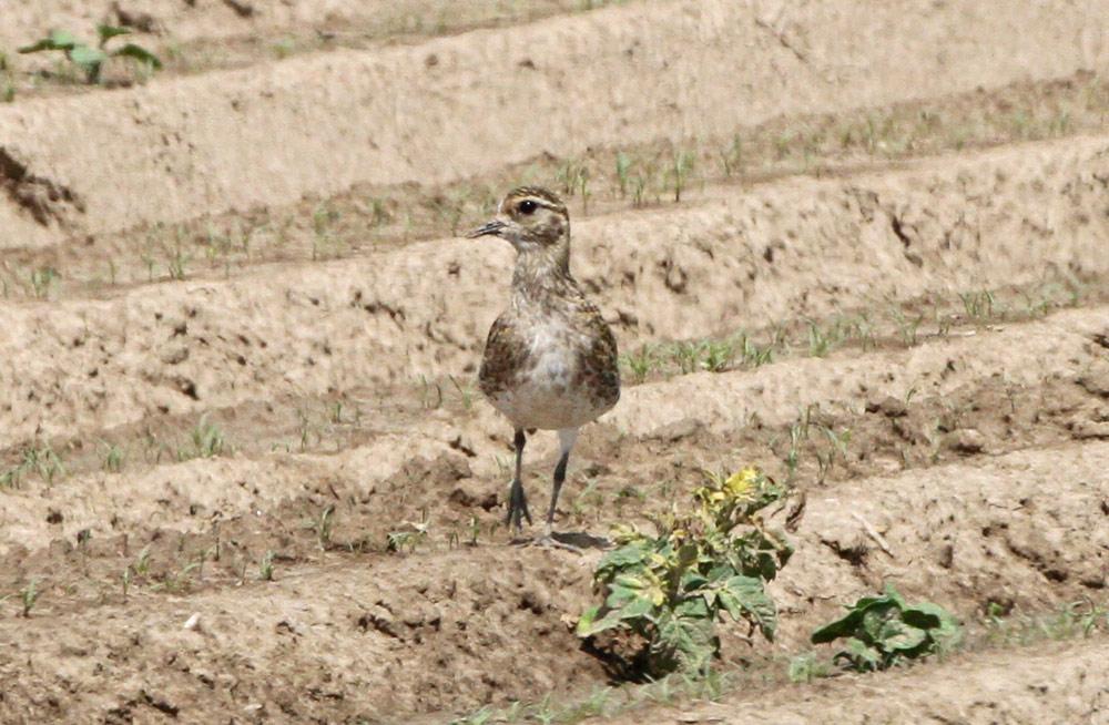 Die flirrende Hitze über den Feldern..., 09.06.2014 Foto: Bernhard Glüer