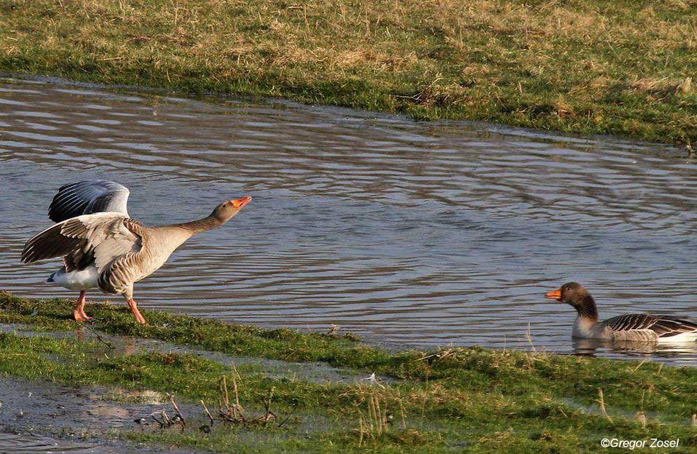 Auch bei den Graugänsen werden die ersten Paare gebildet...am 12.03.14 Foto: Gregor Zosel