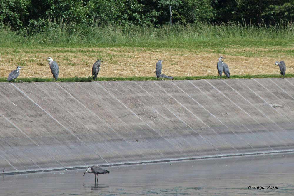 Solche Graureiheransammlungen waren heute an mehreren Stellen im Hammer Wasserwerk zu finden...am 10.06.14 Foto: Gregor Zosel