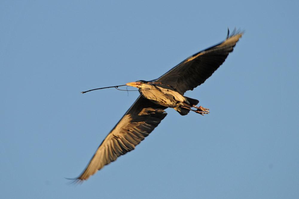 Ein Ast nach dem nächsten wird zu den Nestern transportiert am 23.02.2014 Foto: Marvin Lebeus
