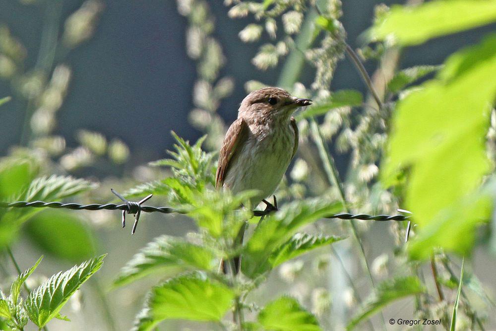 Vom Weidezaun aus kann man hervorragend jagen...am 12.06.14 Foto: Gregor Zosel