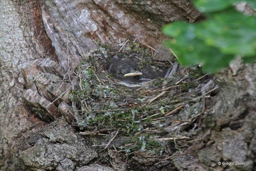 Direkt am Stamm einer Eiche hat der Grauschnäpper sein Nest auf einem kleinen Astvorsprung gebaut. Hier warten die wenigen Tage alten Junge auf die Eltern ...am 12.06.14 Foto: Gregor Zosel