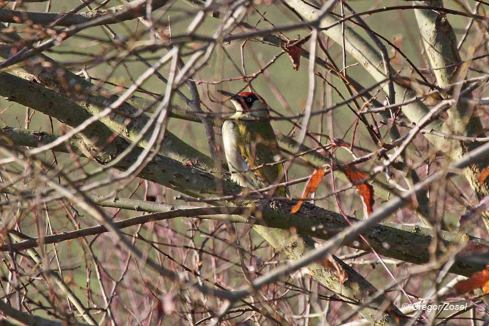 Nur noch ein paar Wochen ist er der Vogel des Jahres. Grünspecht auf der Kiebitzwiese.....am 28.11.14 Foto: Gregor Zosel