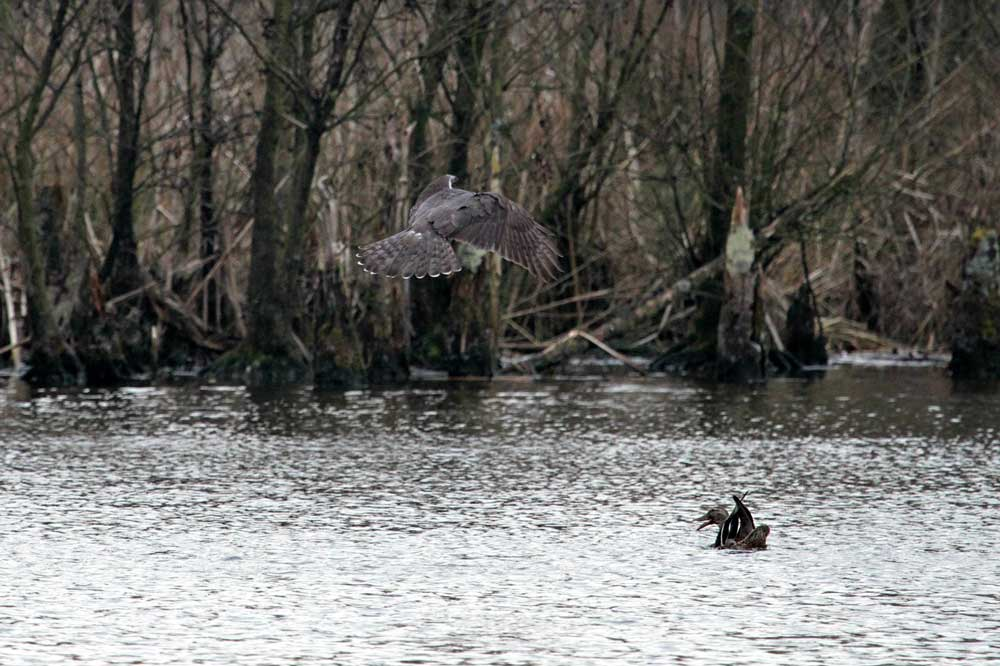 Jagender Habicht in Bergkamen am 16.03.2014 Foto: Ina Tuschinski